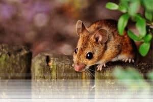 לוכד עכברים בגדרה